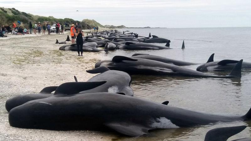 300 ballenas murieron varadas en playa de Nueva Zelanda