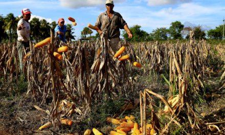 Fedeagro advirtió que producción de maíz alcanzará para dos meses de consumo