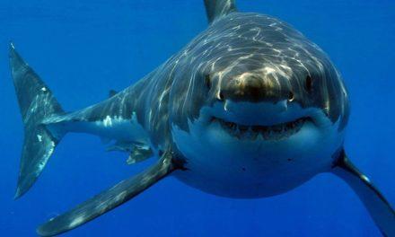 Los tiburones usan mapas mentales para nadar