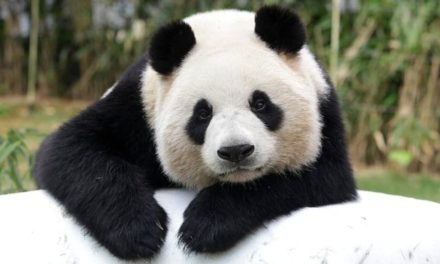 China abrirá su primer parque nacional de osos panda gigantes