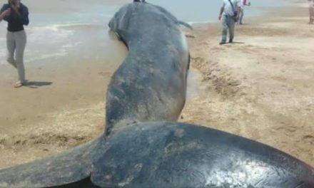 Gigantesca ballena apareció en el Zulia