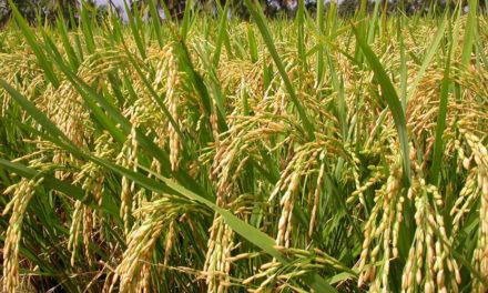 Fevearroz aseguró que marcadores de precios amenaza la agricultura del país