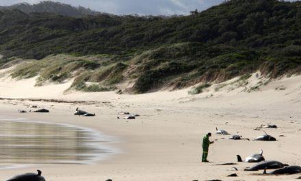 Treintena de ballenas murieron tras quedarse varadas en el sur de Australia