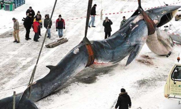 Japón se retiró de la comisión protectora de ballenas para continuar su caza