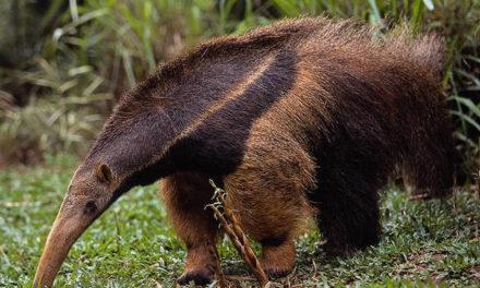 Murió mientras pescaba al ser atacado por un oso hormiguero en Barinas